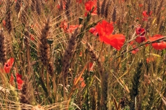 Fields of poppy and wheat abound