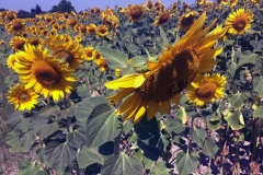 Beginning to see fields of Sunflowers